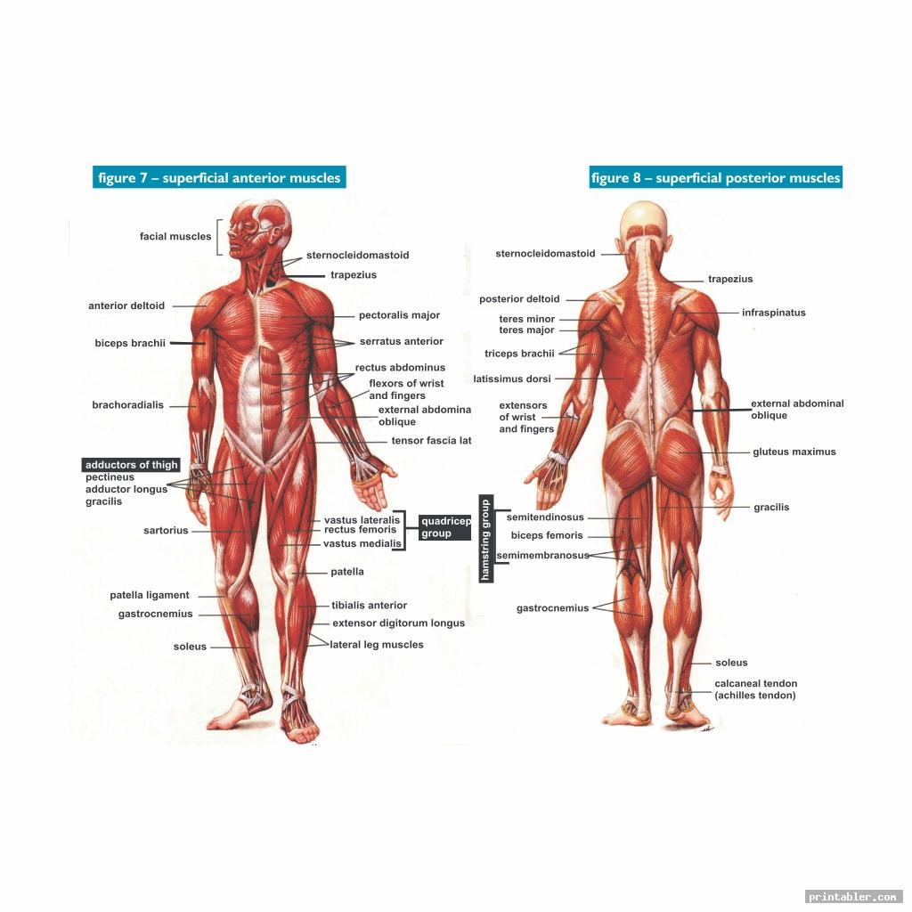 Printable Worksheets Muscle Anatomy