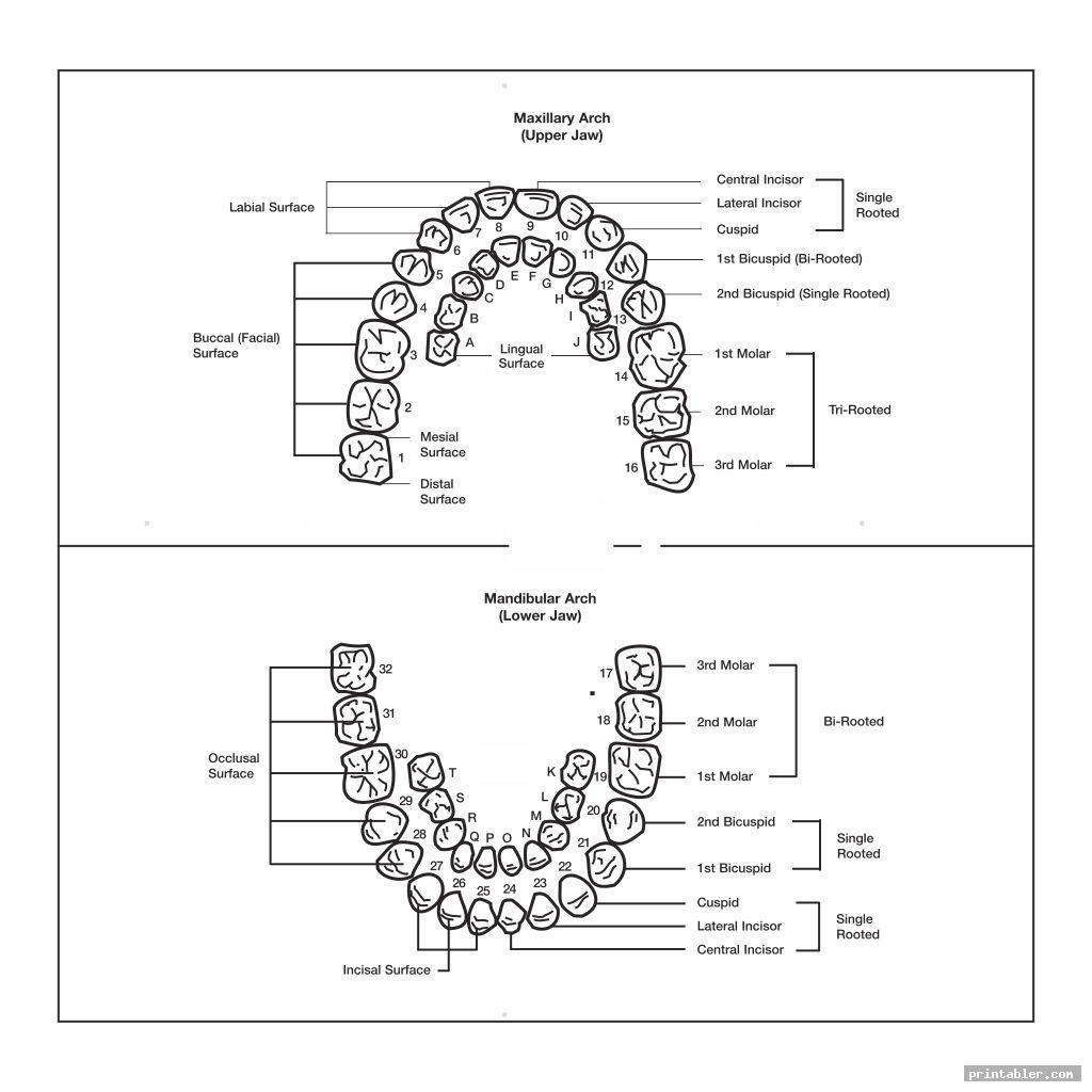 tooth chart printable full sheet image free